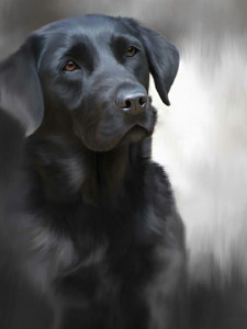 black labrador (40th anniversary image)  - framed