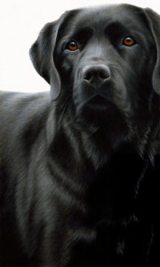 Contrasts - Black Labrador  - Framed