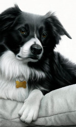 Contrasts - Border Collie - Box Canvas