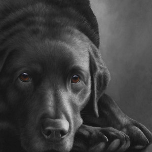 dog tired series - black labrador  - box canvas