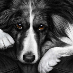dog tired series - border collie  - box canvas
