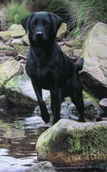 Logo - Black Labrador - Framed