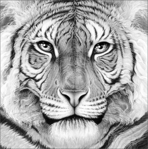 Majesty - Royal Bengal Tiger - Box Canvas