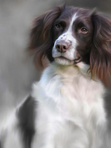 springer spaniel (40th anniversary image) - print only