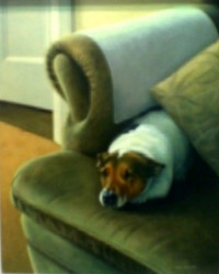 On The Couch - Jack Russell