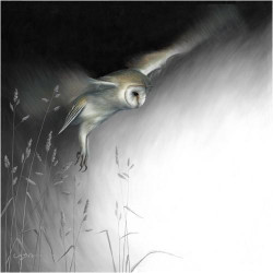 In Flight - Barn Owl
