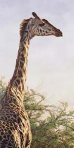 high and mighty - giraffe - mounted
