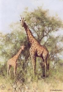 masai giraffe and young - print