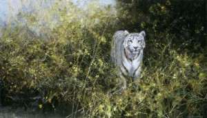 The White Tiger Of Rewa - Print only