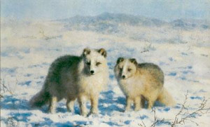 Arctic Foxes - Print only