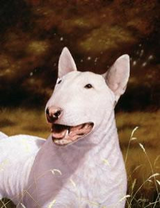 English Bull Terrier - Print only