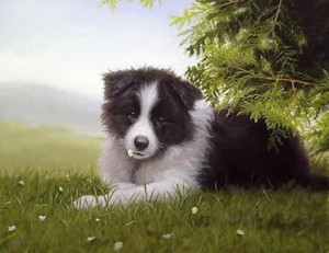 daisy - border collie - print only
