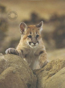 young mountain lion - print