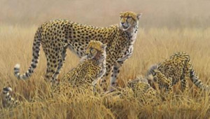 watching for scavengers - cheetahs (canvas) - box canvas