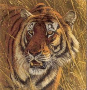 five faces of india - bengal tiger - print only