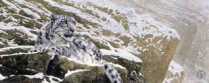 snow leopard - mounted