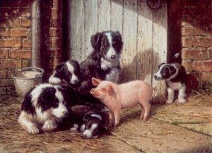 piggy in the middle - border collies & pig - mounted