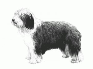bearded collie - print