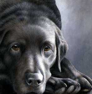 dog tired series - black labrador - print