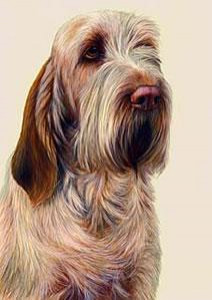 just dogs - orange roan italian spinone - framed