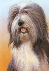 just dogs - bearded collie - print