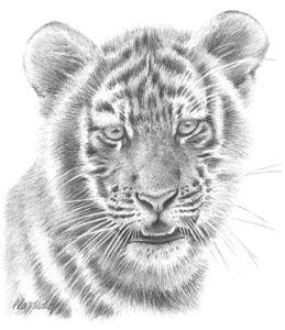tiger study - mounted