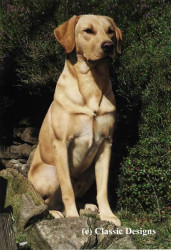 Monty (Yellow Labrador)