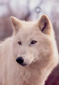 study of a white wolf - print