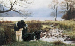 Working Pair - Border Collies