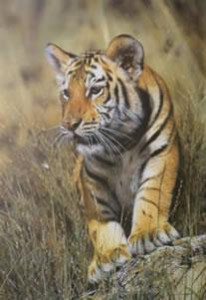 young pretender - tiger cub - mounted