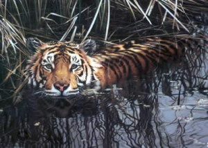 cooling off - tiger - print