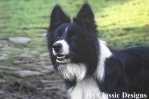 victor (border collie) - print
