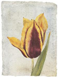 Tulip I - Mounted
