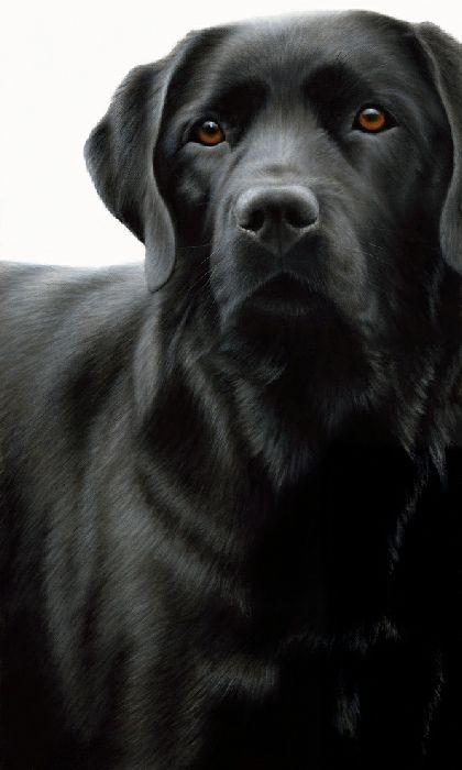 Contrasts - Black Labrador  - Box Canvas by Nigel Hemming