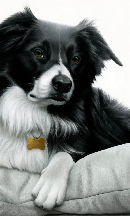 Contrasts - Border Collie by Nigel Hemming