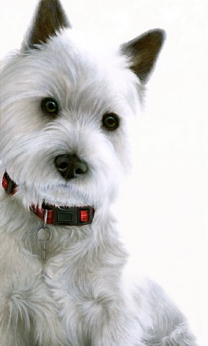 Contrasts - West Highland Terrier  - Box Canvas by Nigel Hemming