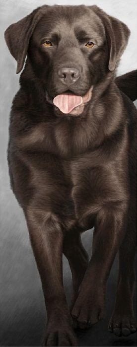 Walk Tall - Chocolate Labrador  - Box Canvas by Nigel Hemming