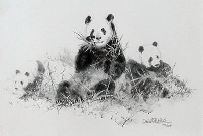 Panda (Pencil) by David Shepherd