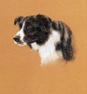 Collie Study by Debbie Gillingham