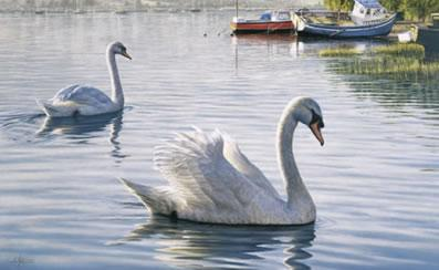 Evening Parade - Swans by Ian Nathan
