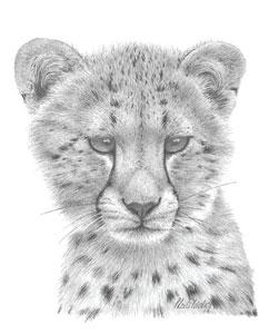 Cheetah Study by Peter Hildick