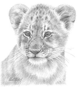 Lion Study by Peter Hildick