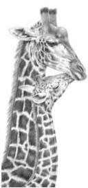 Inseparable - Giraffes by Peter Hildick